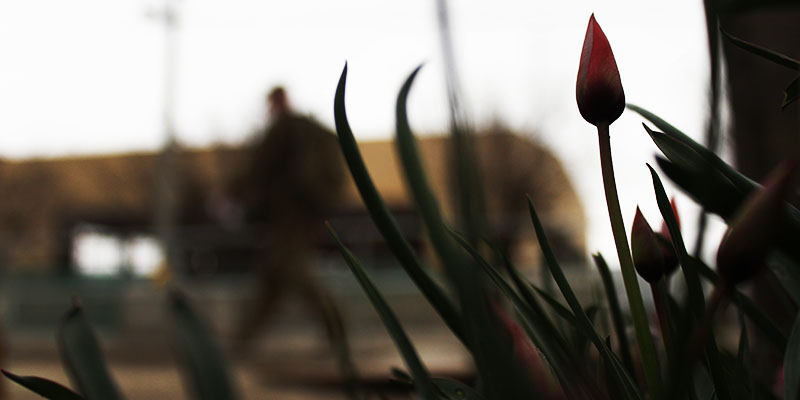 Tulip buds in Afghanistan